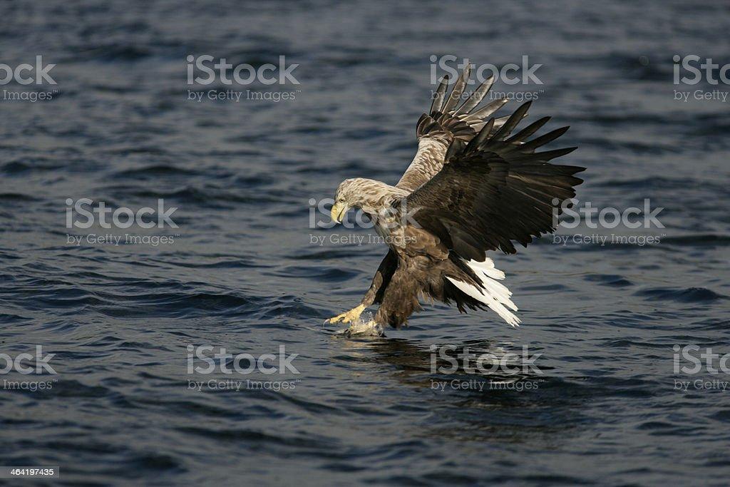 White-tailed sea-eagle, Haliaeetus albicilla stock photo