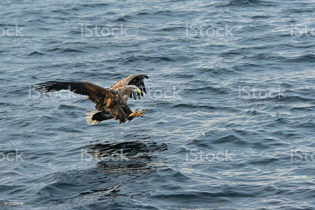 White-tailed sea-eagle (Haliaeetus albicill) hunting for fish stock photo