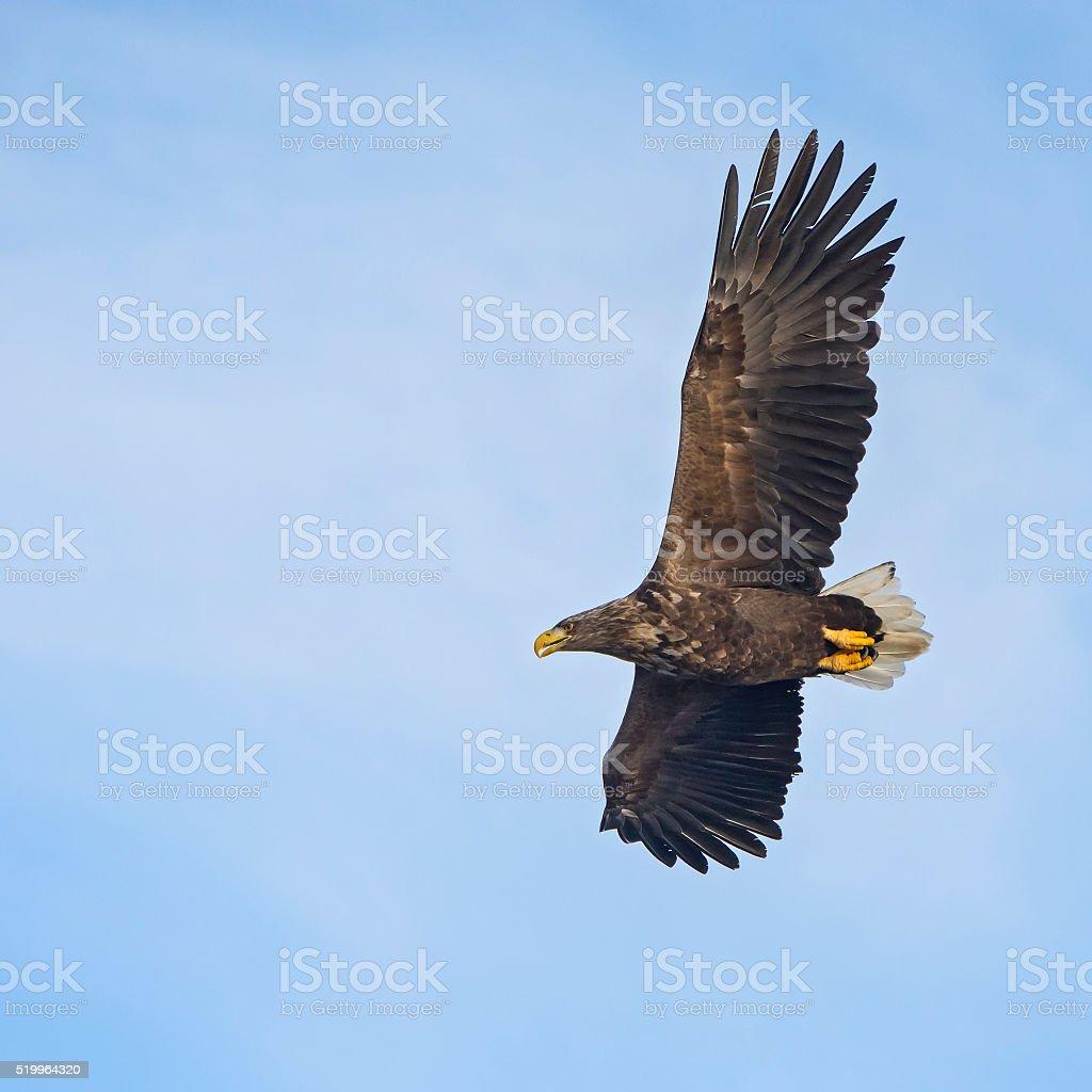 White-tailed sea-eagle (Haliaeetus albicill) in winter stock photo