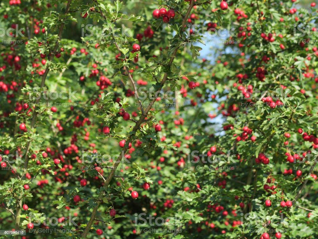 Whitethorn fruits, Crataegus monogyna stock photo