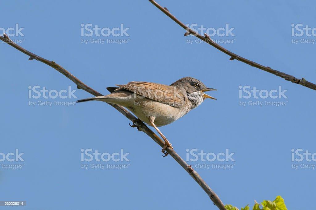 Whitethroat Bird Singing stock photo