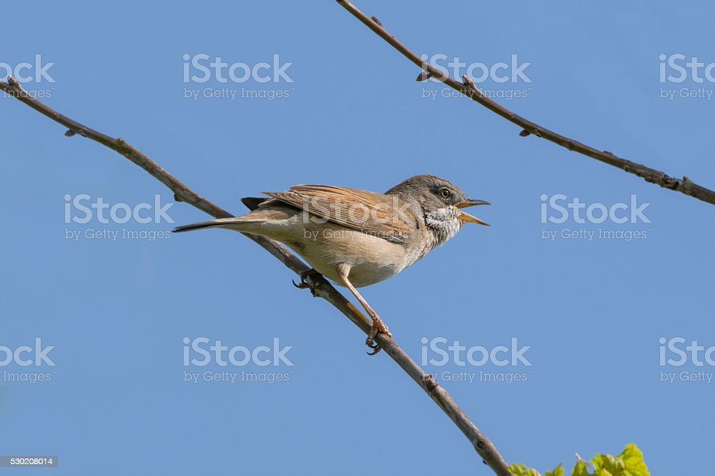 Whitethroat Bird Singing stock photo