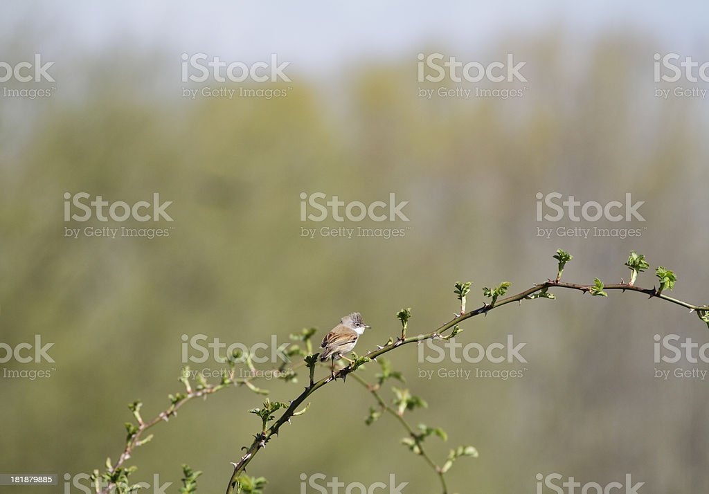 Whitethroat Sylvia communis bird on bramble branch stock photo