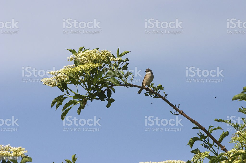 Whitethroat Sylvia communis bird on elderflower stock photo