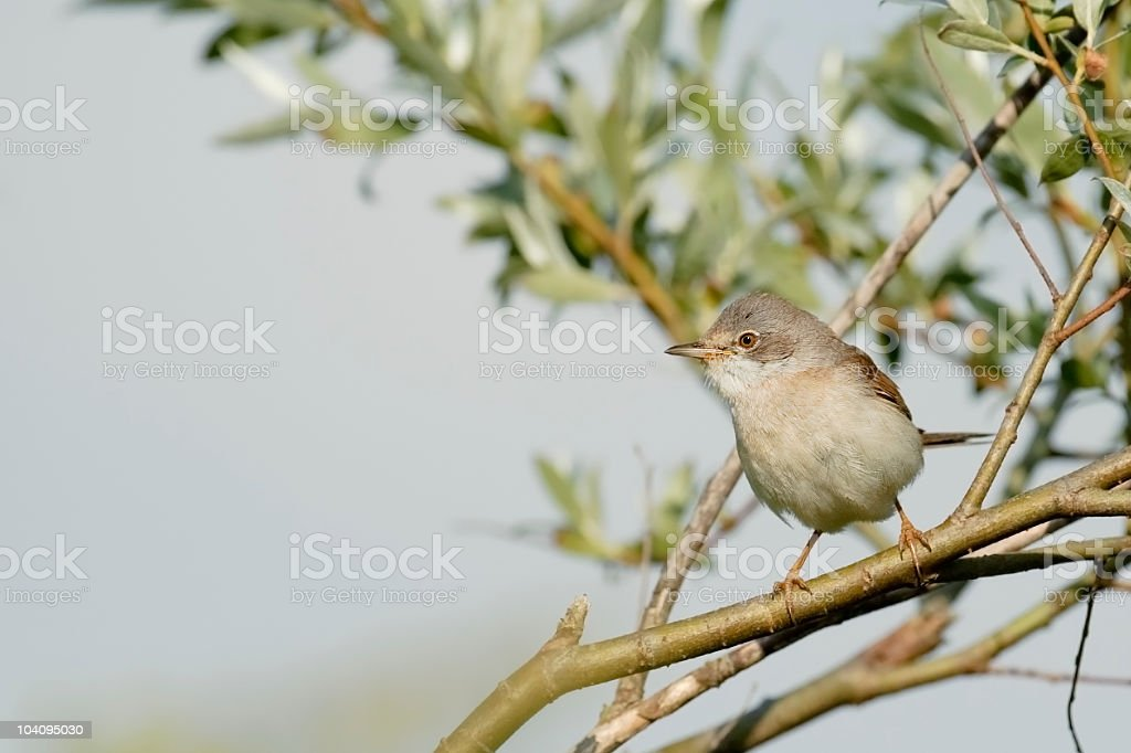Whitethroat in a bush stock photo