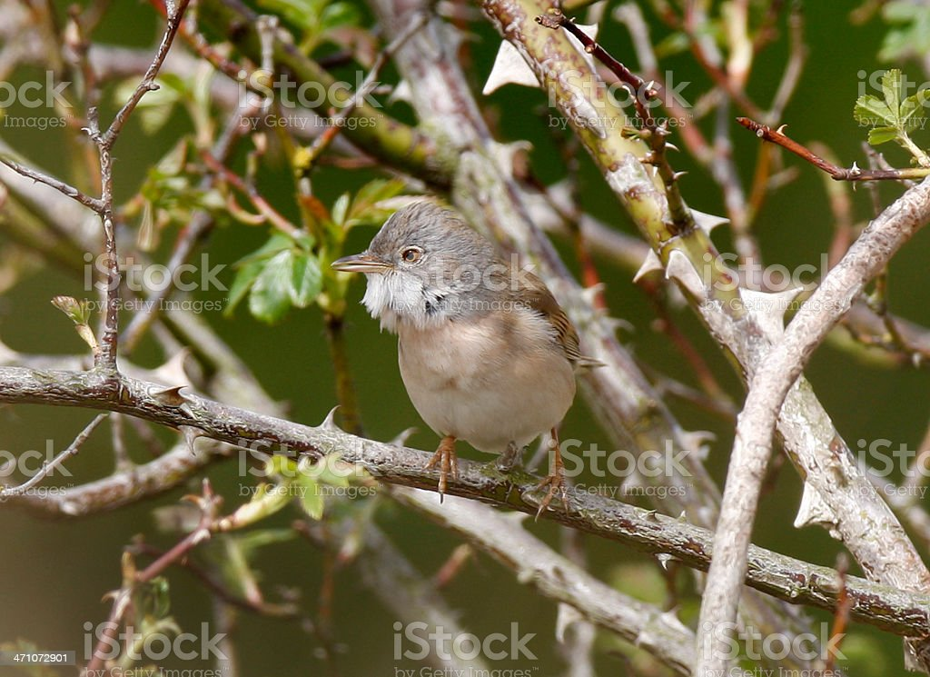 Whitethroat  (Sylvia communis) stock photo