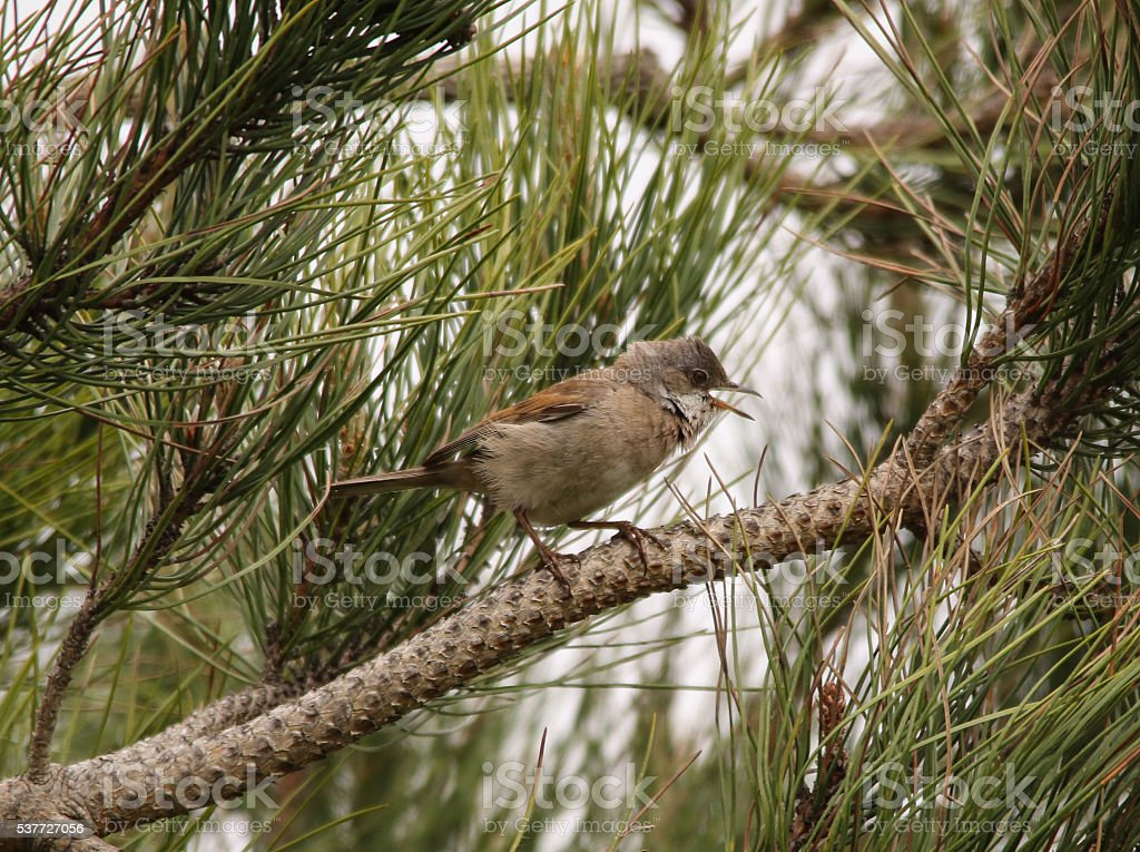 Whitethroat stock photo