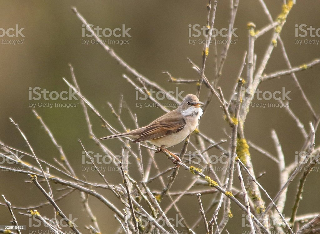 Whitethroat Singing stock photo