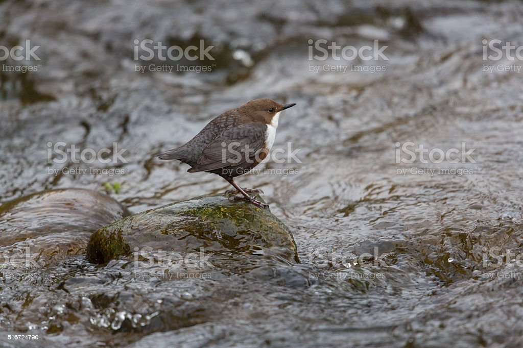 white-throated dipper  (Cinclus cinclus) stock photo