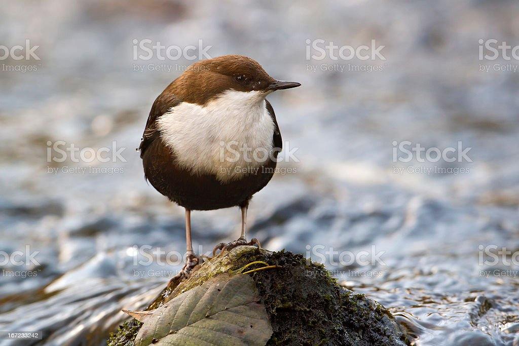 White-throated Dipper Water bird (Cinclus_cinclus) royalty-free stock photo