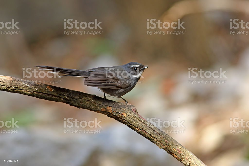White-throated fantail male in the nature. stock photo