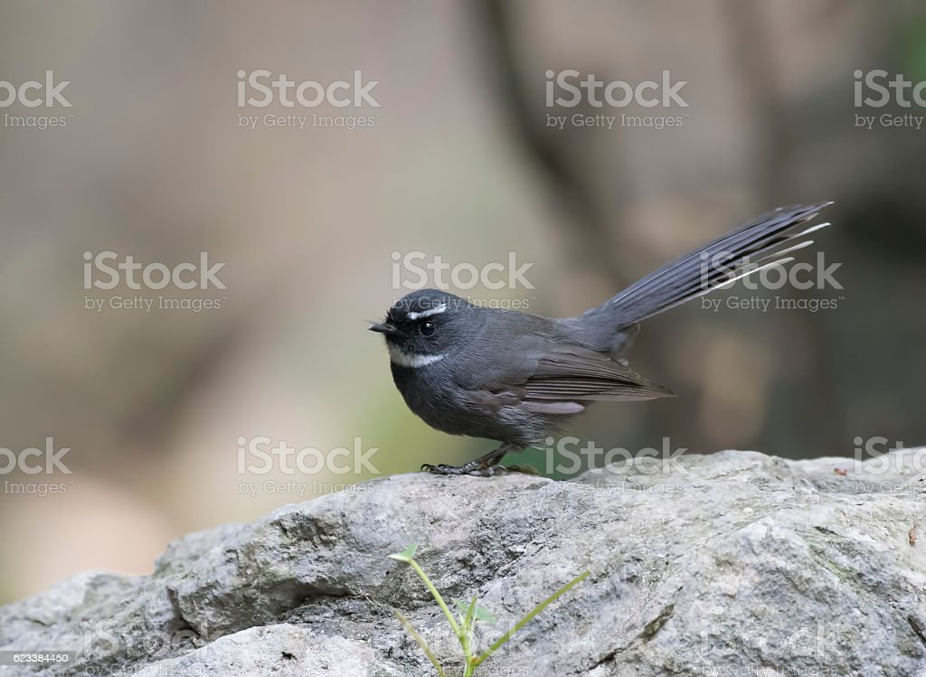 White-throated fantail stock photo