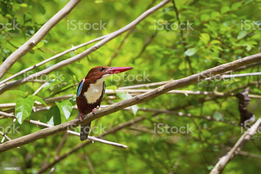 White-throated Kingfisher bird stock photo