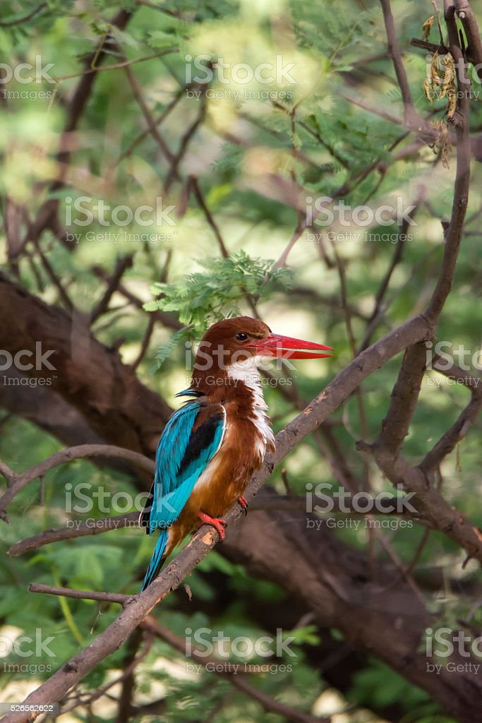 White-throated Kingfisher (Halcyon smyrnensis) in Ranthambhore National Park, India stock photo