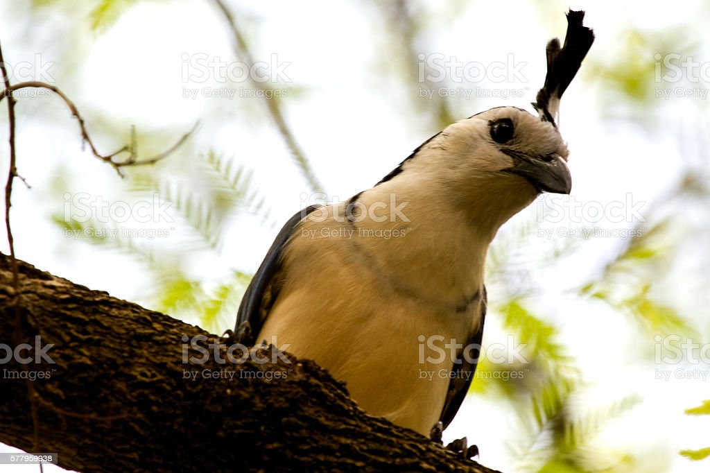 White-Throated  Magpie Jay stock photo