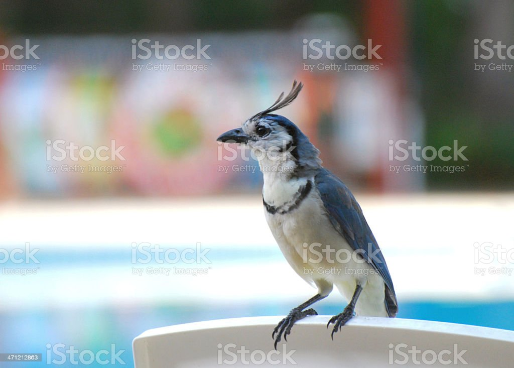 White-throated Magpie-jay stock photo