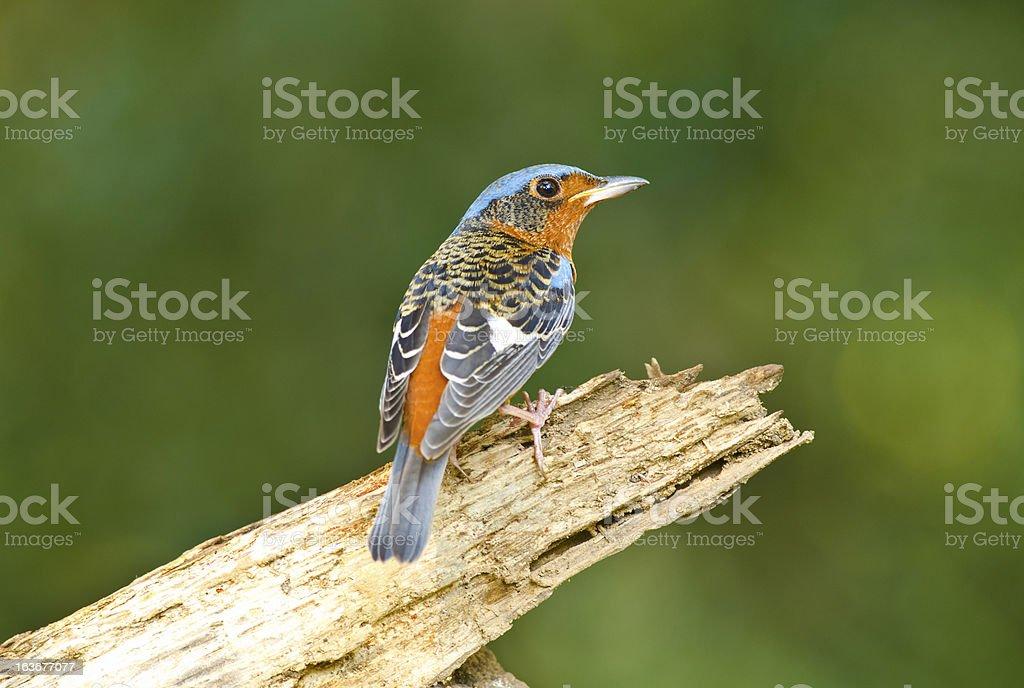 White-throated Rock-thrush, Bird of Thailand royalty-free stock photo