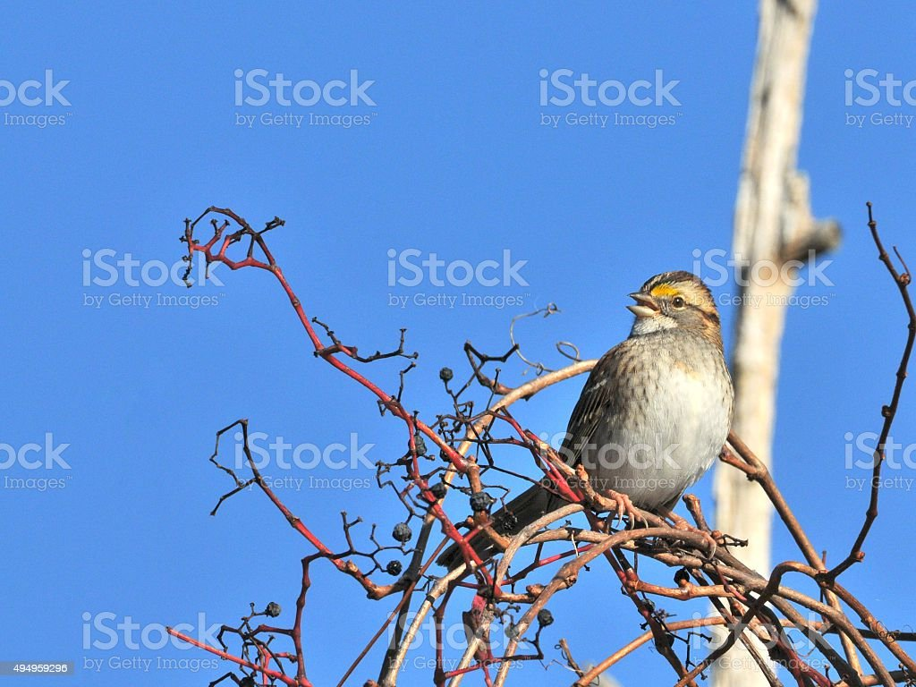 White-throated Sparrow Calling In Morning stock photo