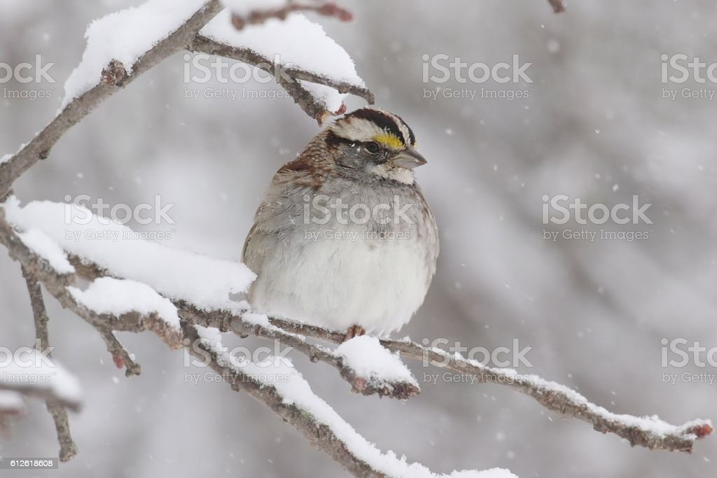 White-throated Sparrow (zonotrichia albicollis) in Snow stock photo