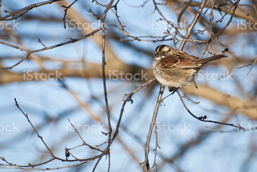 White-throated Sparrow Perched in a Tree royalty-free stock photo