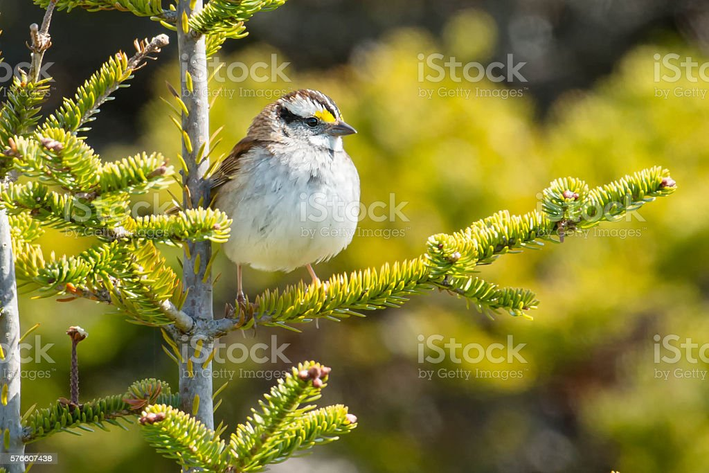White-throated Sparrow stock photo