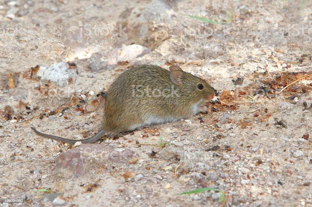 White-throated woodrat (Neotoma albigula) stock photo