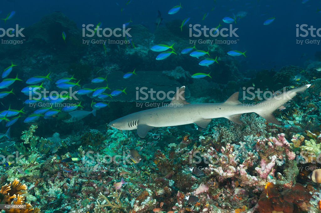 Whitetip Reef Shark and Fusilier School, Komodo National Park, Indonesia stock photo