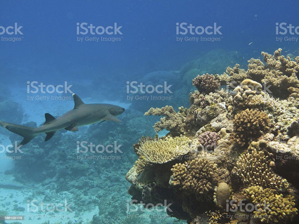 Whitetip Shark (Triaenodon Obesus) Great Barrier Reef Austr royalty-free stock photo