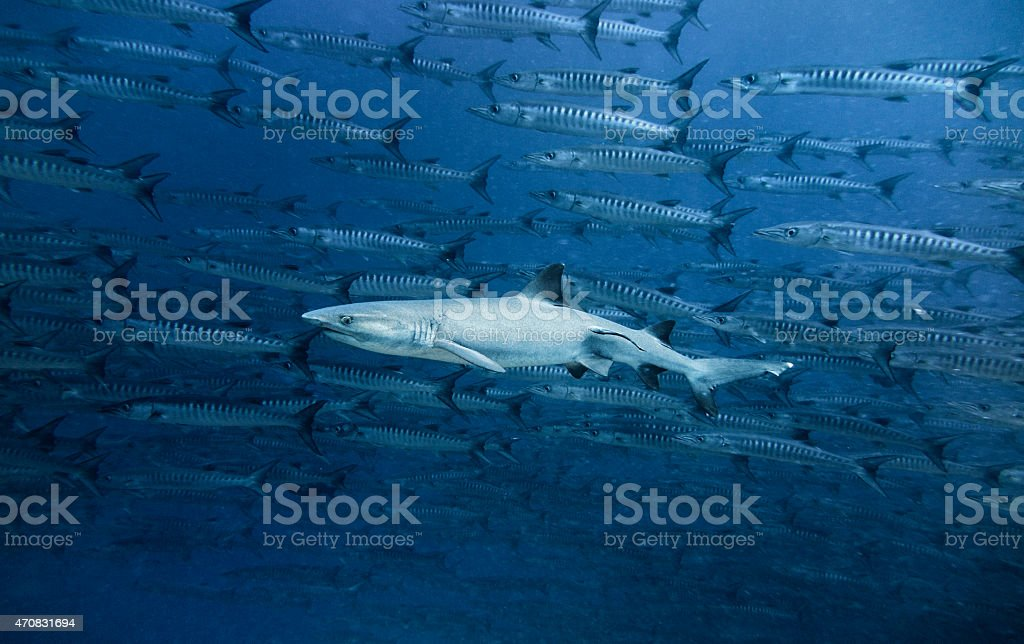 White-tip Shark in a Barracuda School, Sipadan, Malaysia stock photo