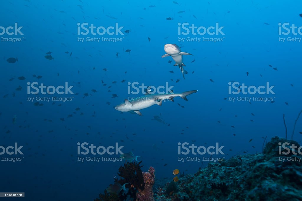 Whitetip Sharks royalty-free stock photo