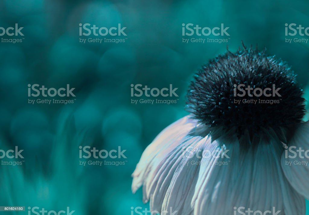A white-turquoise flower on a turquoise  blurred bokeh background. Close-up. Floral background. Soft focus. Nature. stock photo