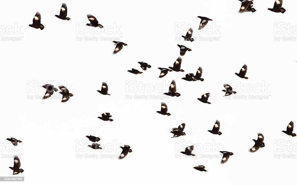 White-vented Myna or starlings flying in the sky stock photo