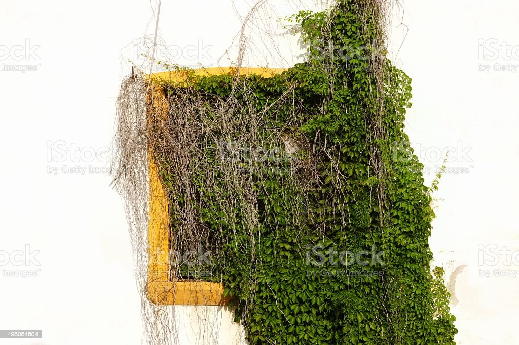 Whitewash Wall With Hidden Yellow Window In Green Vines. stock photo