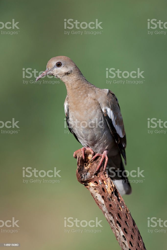 White-winged Dove royalty-free stock photo
