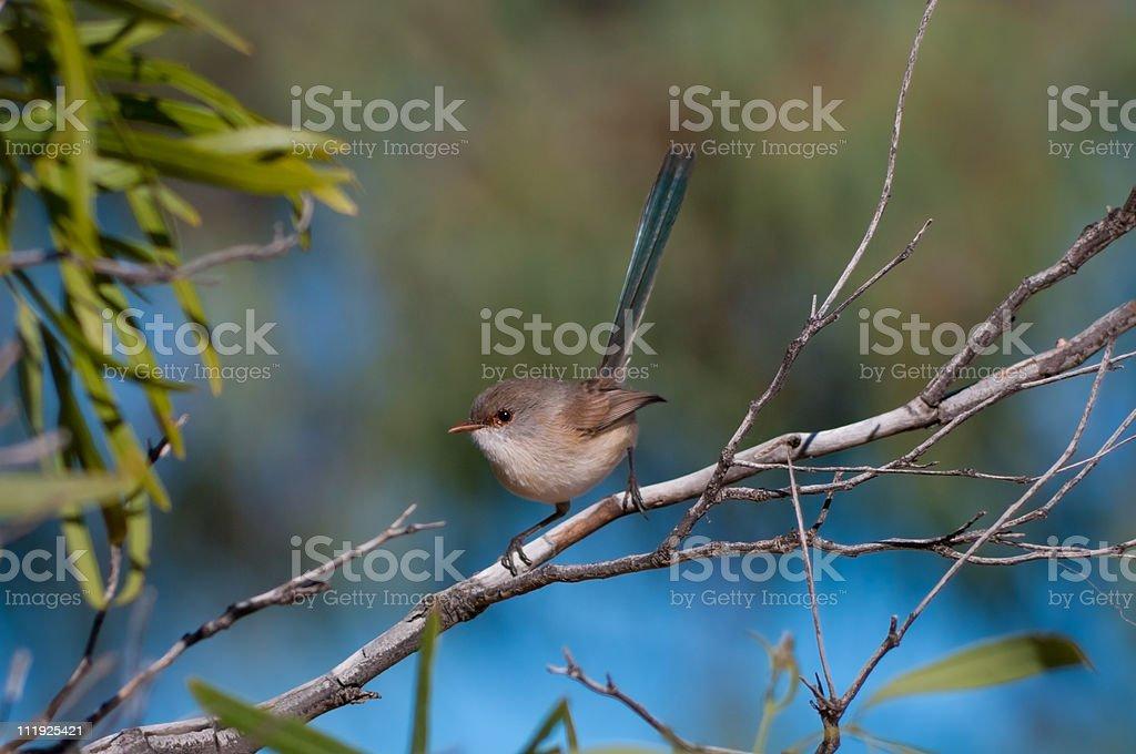White-winged Fairywren stock photo