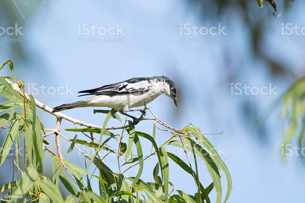White-winged Triller, Queensland, Australia stock photo