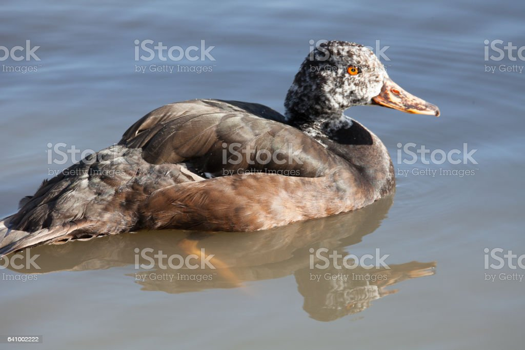 white-winged wood duck stock photo