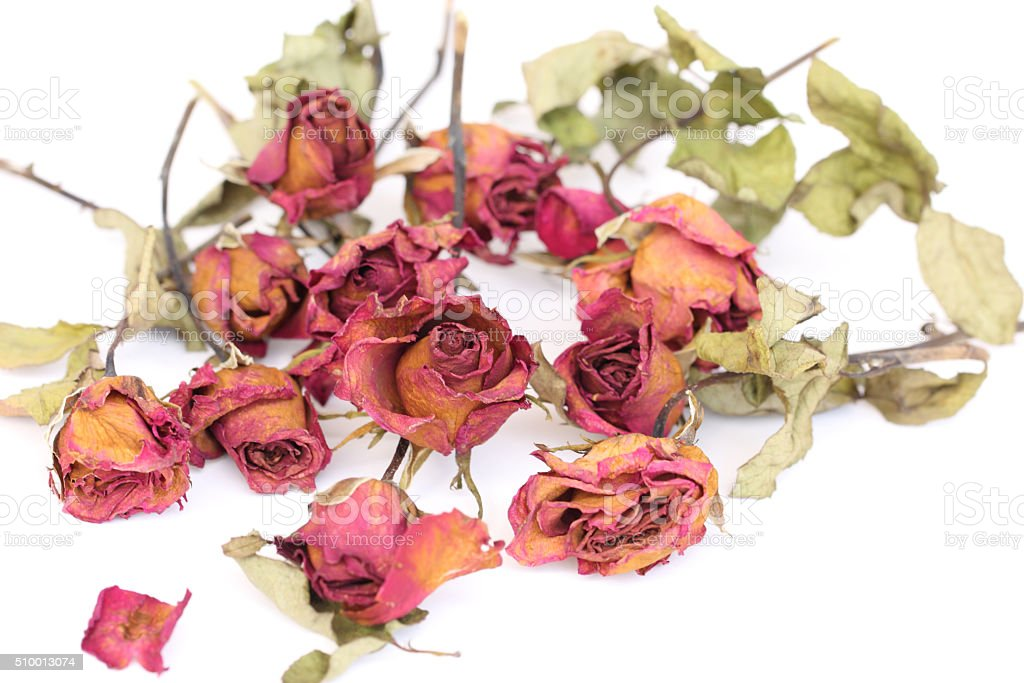 Whithered roses on white background. stock photo