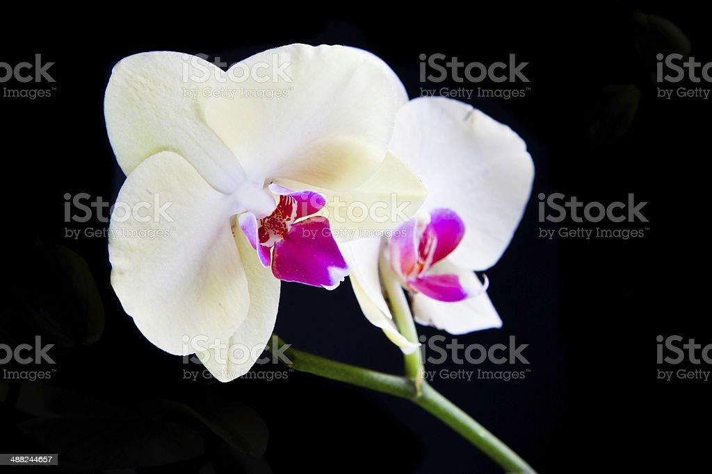 Whitre Орхидея Стоковые фото Стоковая фотография