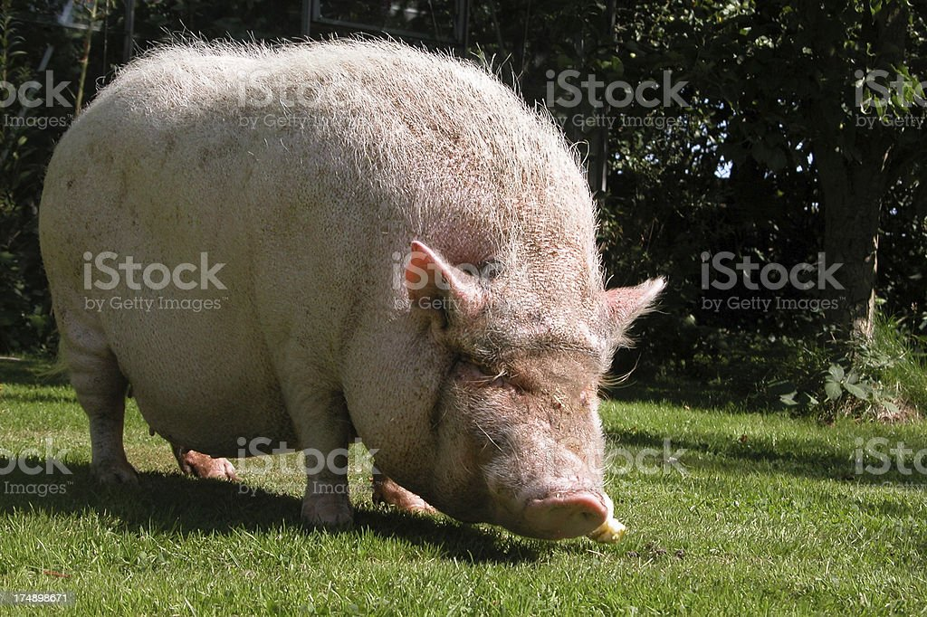 Who let  the pig out? stock photo