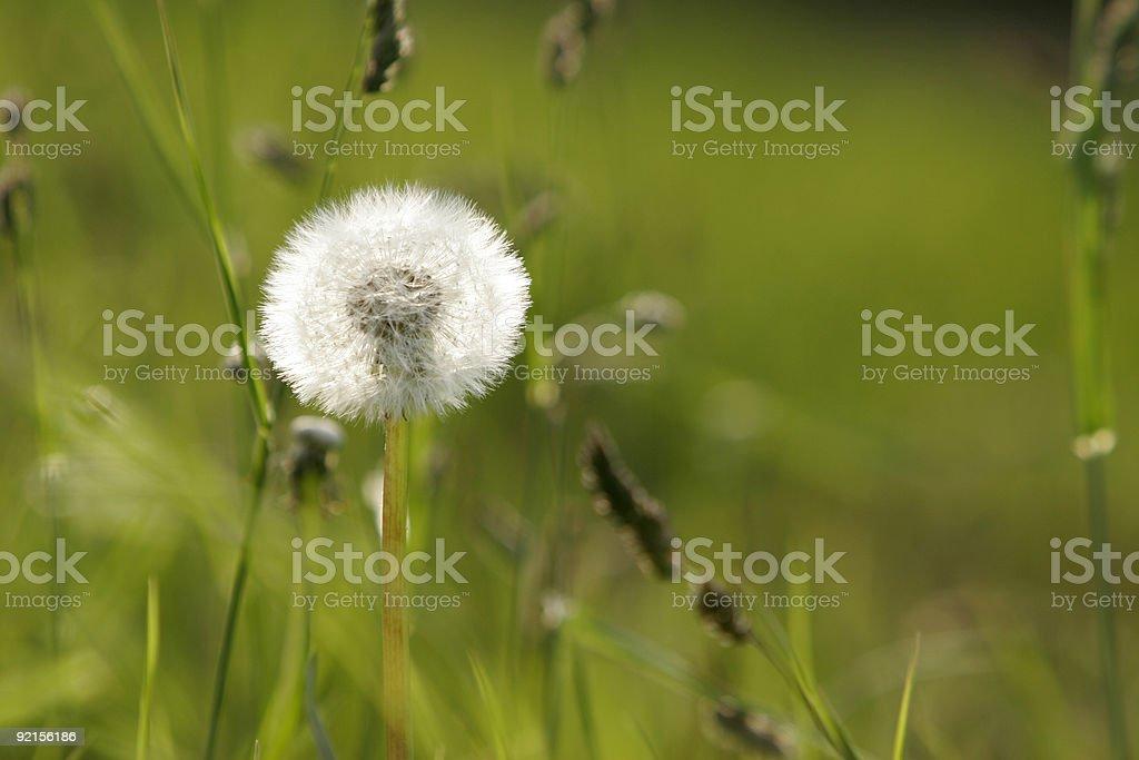 Whole Dandelion Seed Head royalty-free stock photo