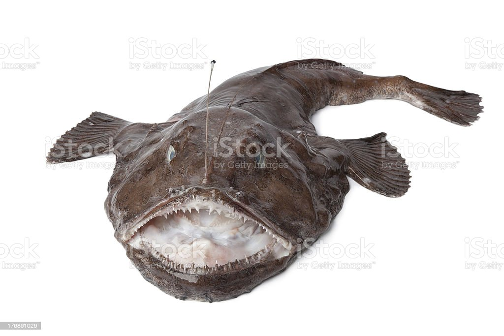 Whole fresh Monkfish royalty-free stock photo