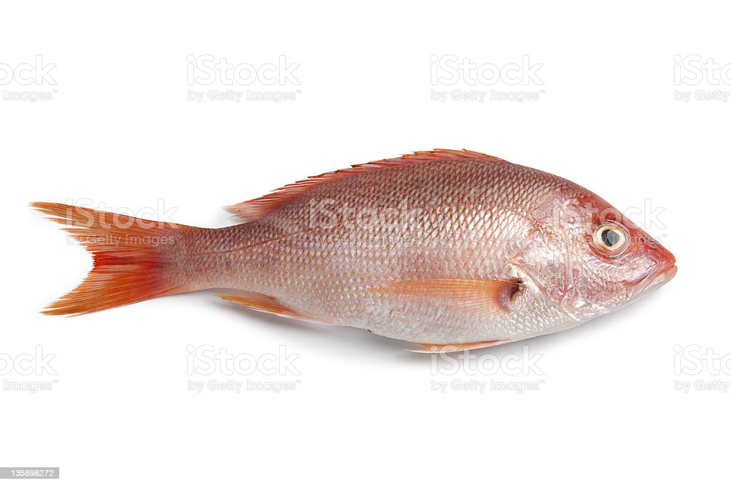 Whole fresh red snapper stock photo