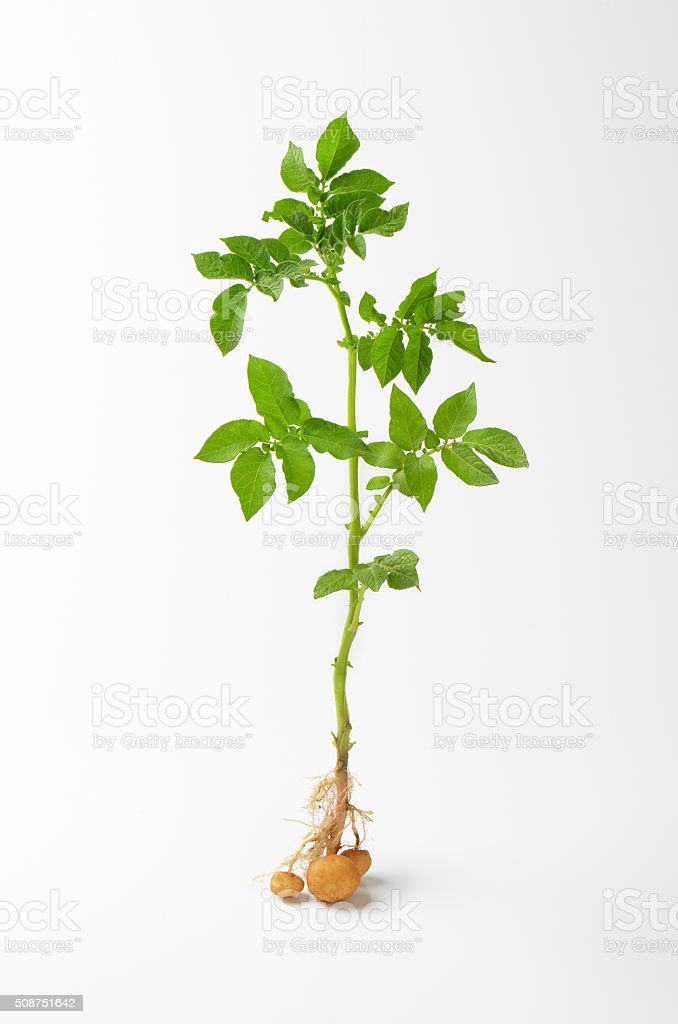 whole potato plant stock photo