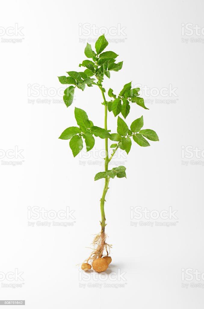 whole potato plant stock photo