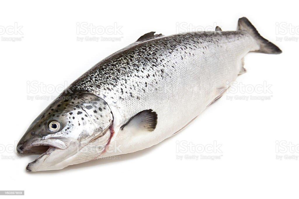 Whole salmon (Salmo solar) on a white background. stock photo