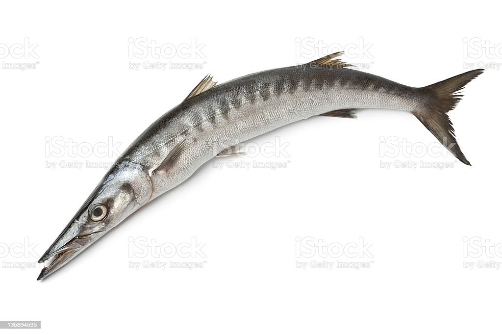 Whole single fresh Barracuda fish stock photo