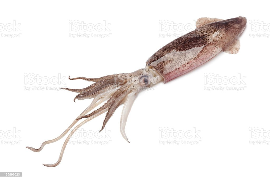 Whole single fresh raw calamari stock photo