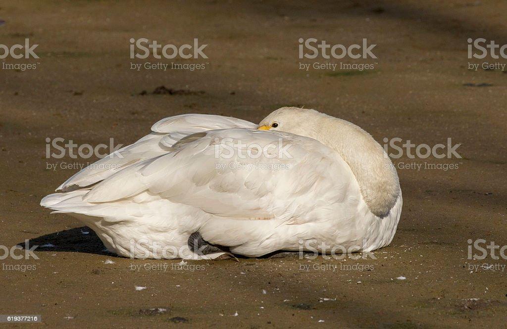 whooper swan resting stock photo