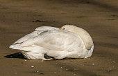 whooper swan resting
